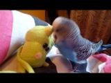 Попугай и его любимая игрушка